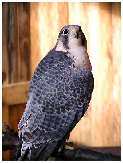 peregrine falcon raptor bird of prey