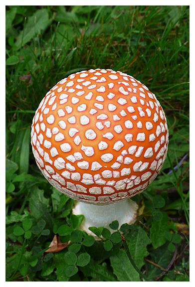 Amanita mycelium mycological mushroom fungi pacific northwest mycorestoration fungus