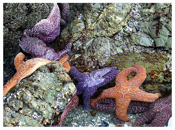 sea star starfish british columbia pacific northwest